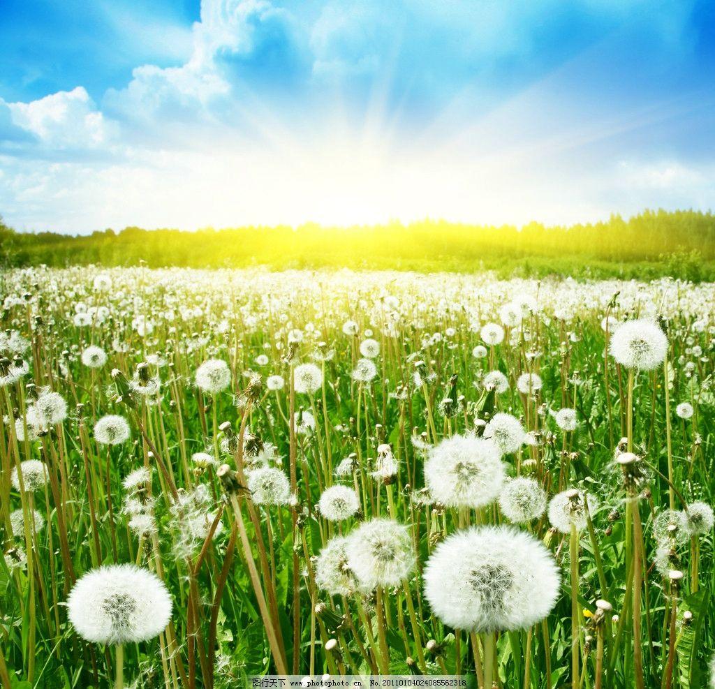 蒲公英的世界 蒲公英 蓝天 白云 梦想 飞翔 美景 风景 自然风光 自然