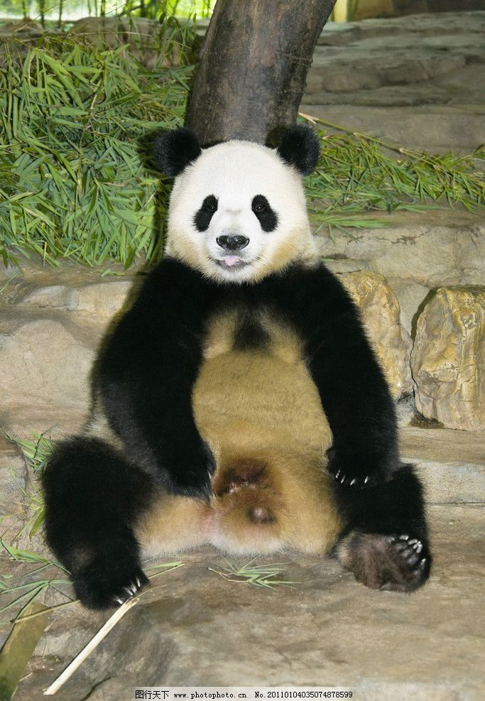 大熊猫 熊猫 盼盼 国宝 黑白 可爱 野生动物 生物世界 摄影 300dpi
