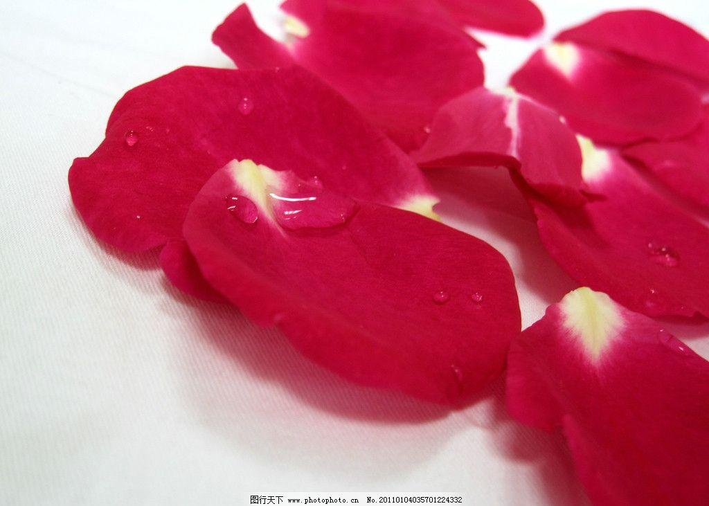 花瓣 花 玫瑰花 玫瑰花瓣 娇艳 艳丽 白底 摄影 摄影图库 生物世界 花