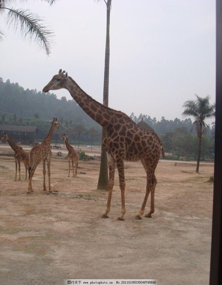 长颈鹿 动物世界 野生动物 生物世界 摄影 72dpi jpg