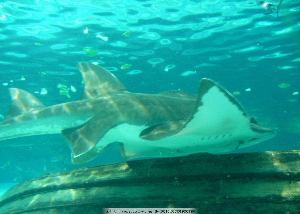 辐鲼 海底 海底世界 鱼类 海洋生物 摄影图库 摄影 水族 生物世界 72
