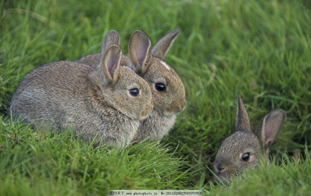 三只动物 户外 动物主题 白昼 灰色 兔子 草地 摄影 300dpi 可爱的