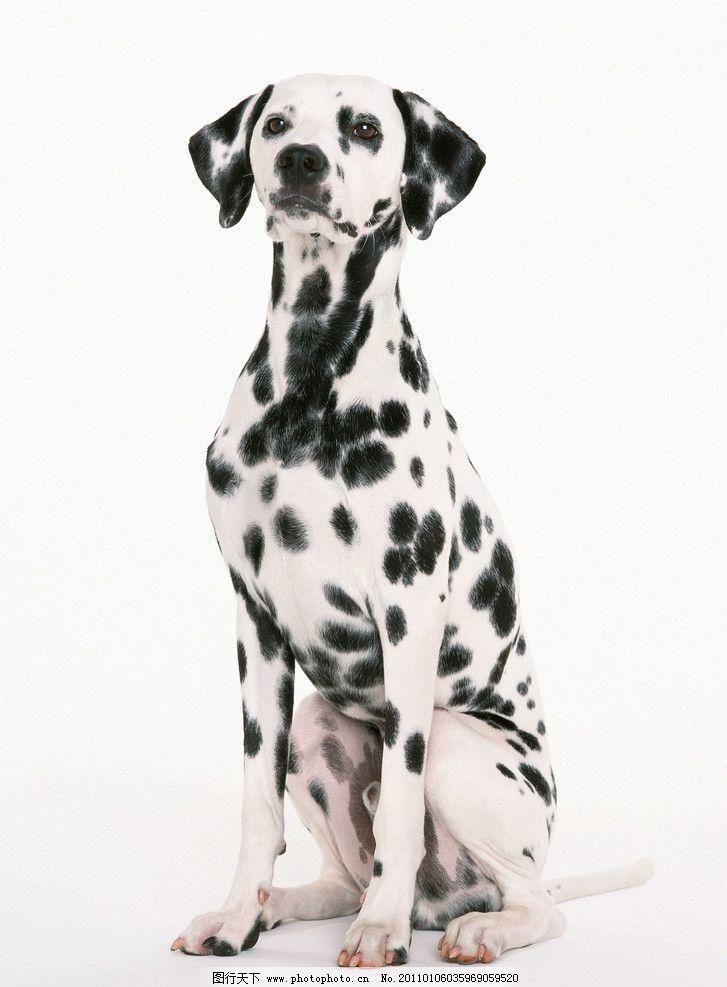 斑点狗 小狗 高清 小狗狗 家禽家畜 生物世界 摄影 可爱 宠物狗 350