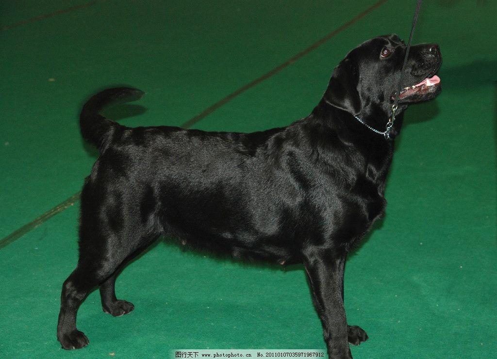 黑犬 宠物 动物 生物 狗 公犬 宠物犬狗 摄影