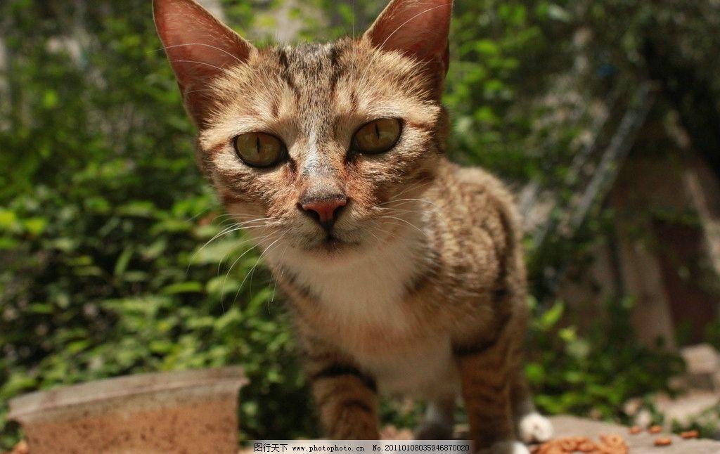 生物世界 家禽家畜  狸猫 野生 自然 高清 大图 猫咪 背景 野生动物