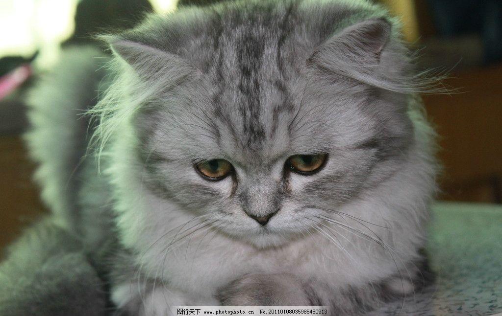 猫咪 美短 可爱 纹理 高清 大图 摄影