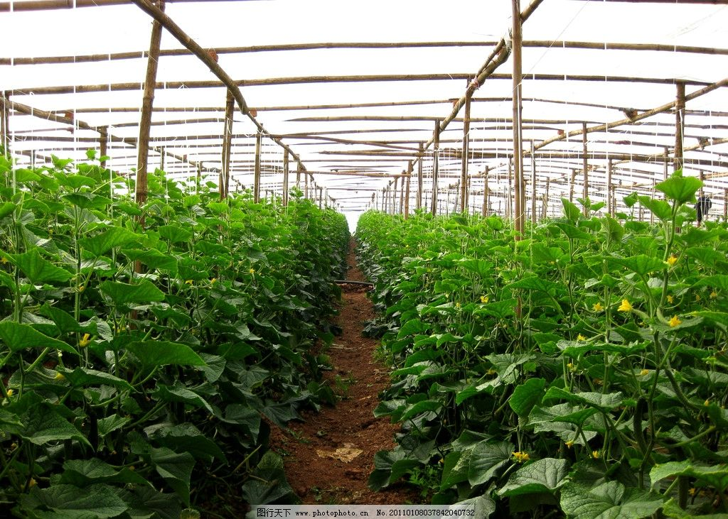 大棚蔬菜 蔬菜 大棚 黄瓜地 黄瓜种植 农业生产 现代科技 摄影 180dpi