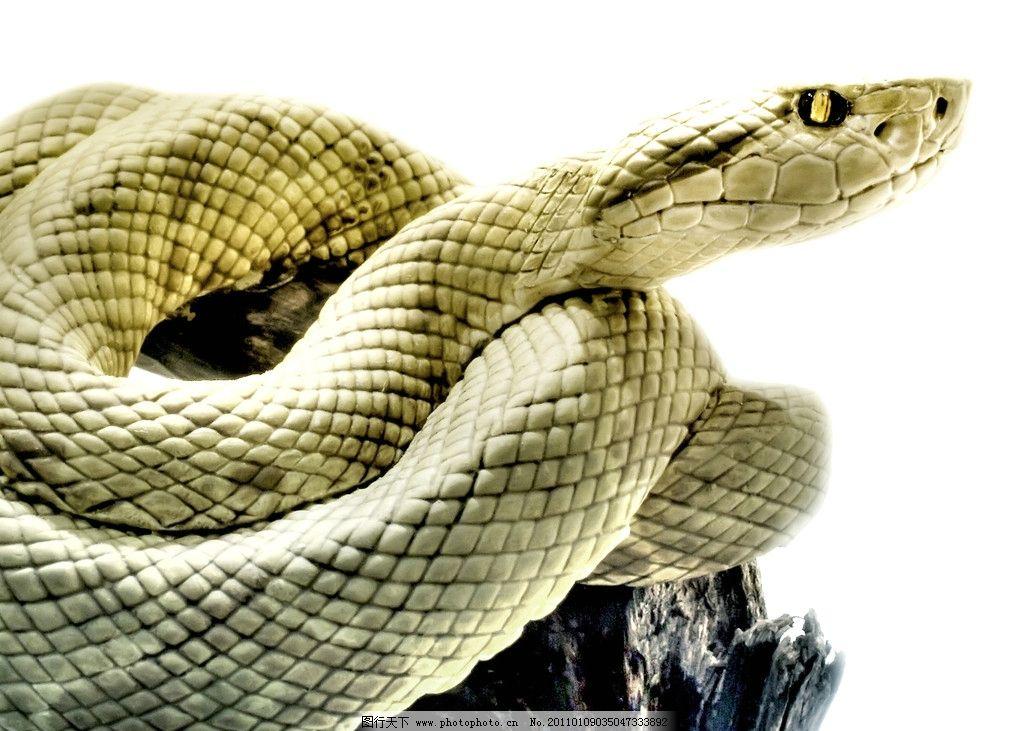黄皮蛇 高清蛇 蛇特写 冷血动物 摄影