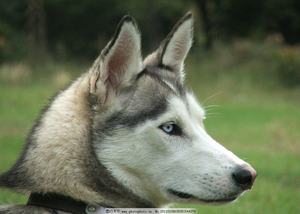 狼头 野狼 动物摄影 陆地动物