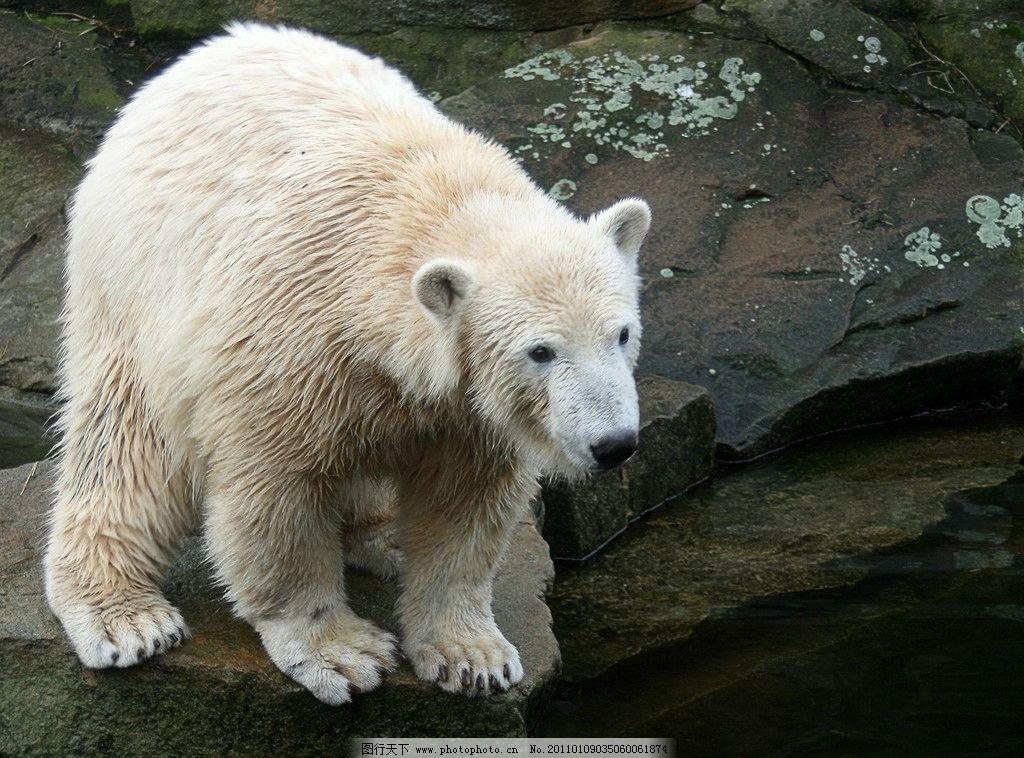 北极熊 动物摄影 哺乳动物 北极熊图集