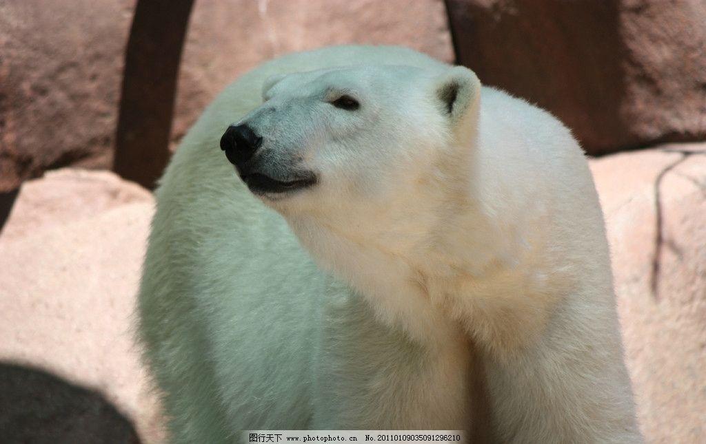 北极熊 动物摄影 哺乳动物 野生动物 北极熊图片 北极熊图集 生物世界