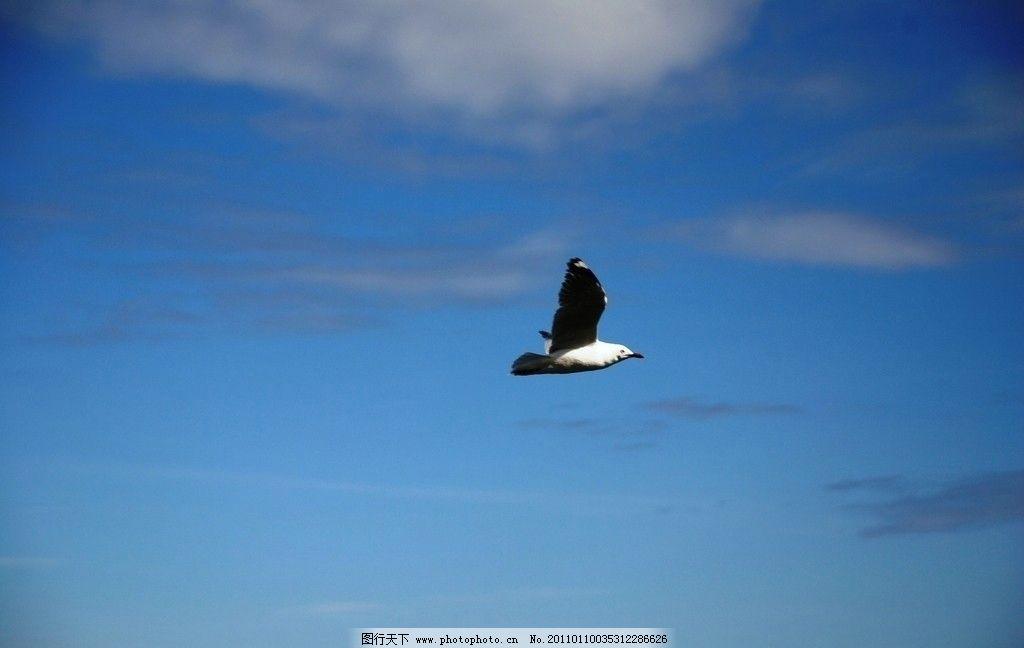 飞翔的海鸥 蓝天 展翅高飞 摄影