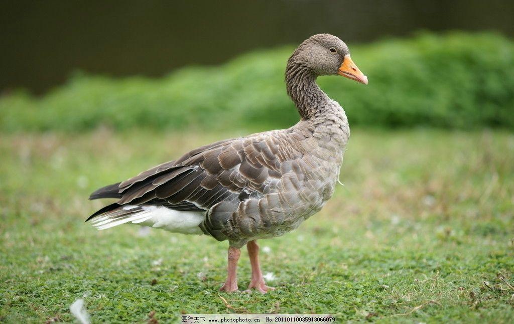 鸭子 动物 家禽 觅食 动物世界 摄影