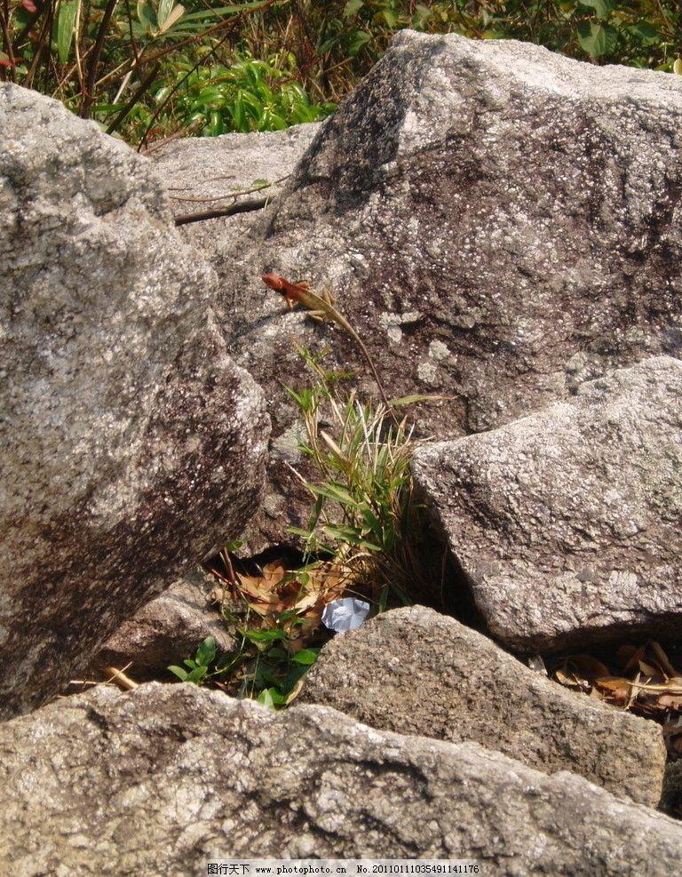 石头间的壁虎 爬行动物图片