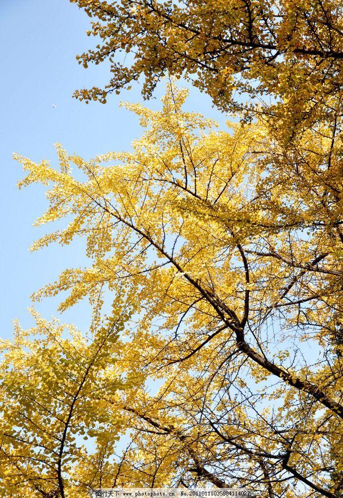 金色的秋天 秋天 银杏 树林 天空 树木树叶 生物世界 摄影 300dpi jpg