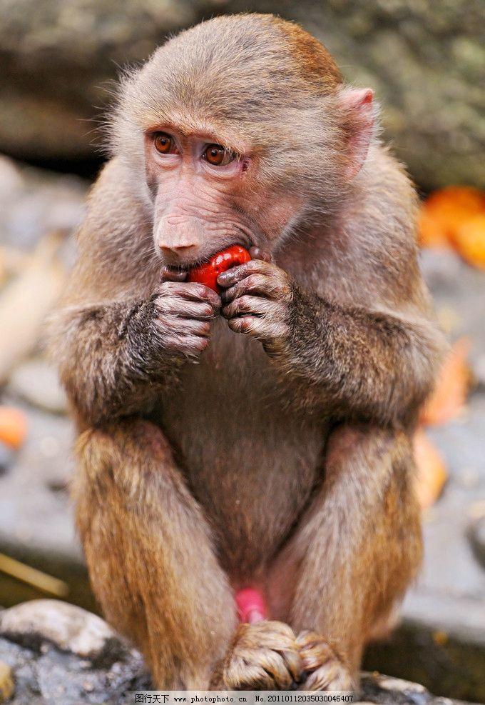 狒狒 脯乳动物 猴子 坐着 吃东西 全身 野生动物 生物世界 摄影 300