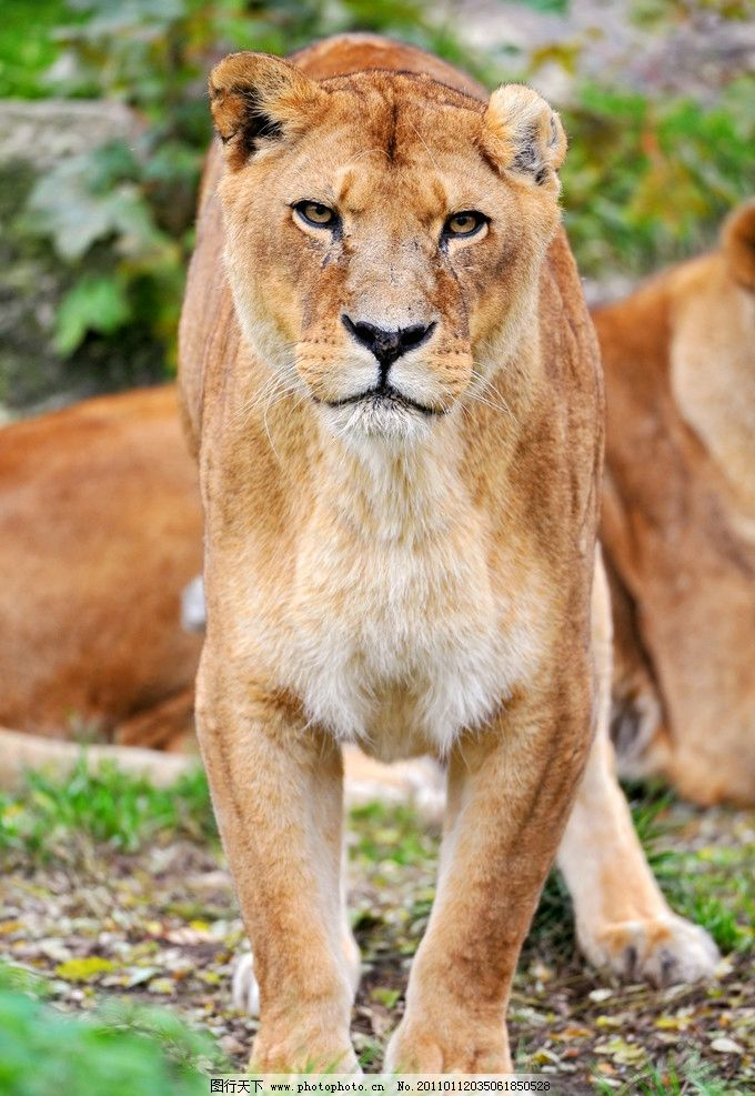 狮子 非洲动物 脯乳动物 站着 母狮 雌狮 全身 正面 摄影