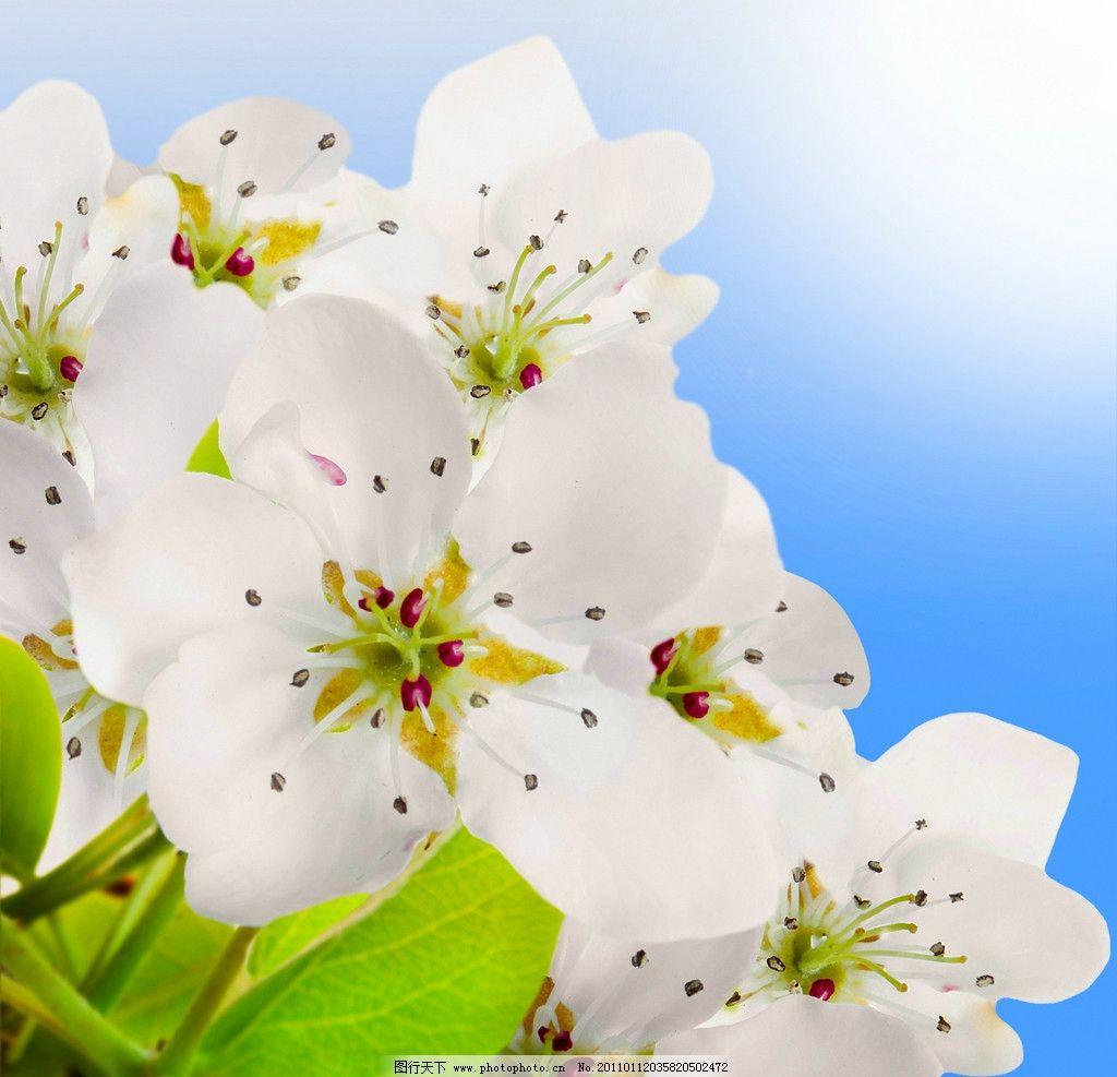 白色樱花 樱花 绿叶 樱树 植物 春天风景 春季风景 树木树叶 生物世界