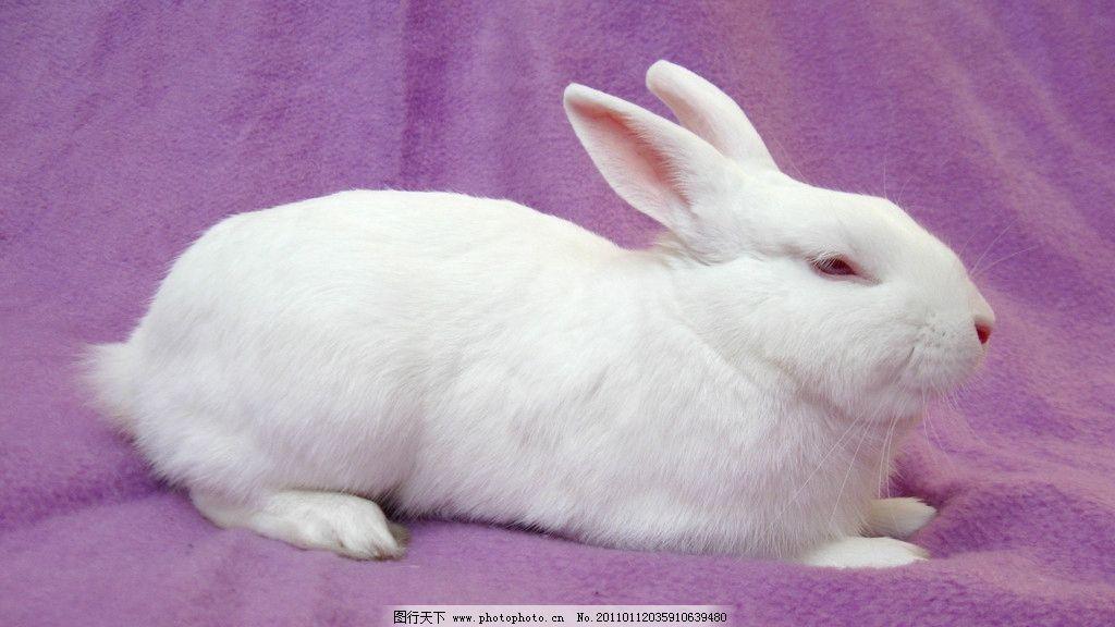 兔子 乖乖兔 小兔子 兔年素材 兔兔 可爱的兔子 白色兔子 漂亮的兔子
