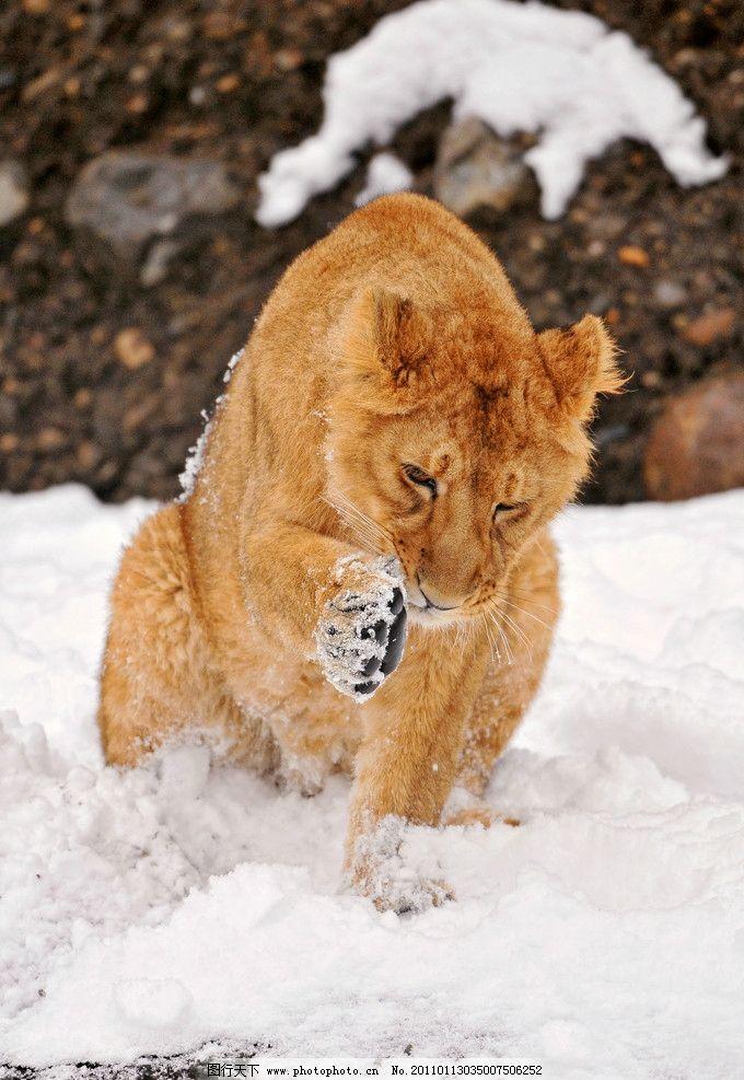 狮子 非洲动物 脯乳动物 雌狮 小狮子 雪地 摄影