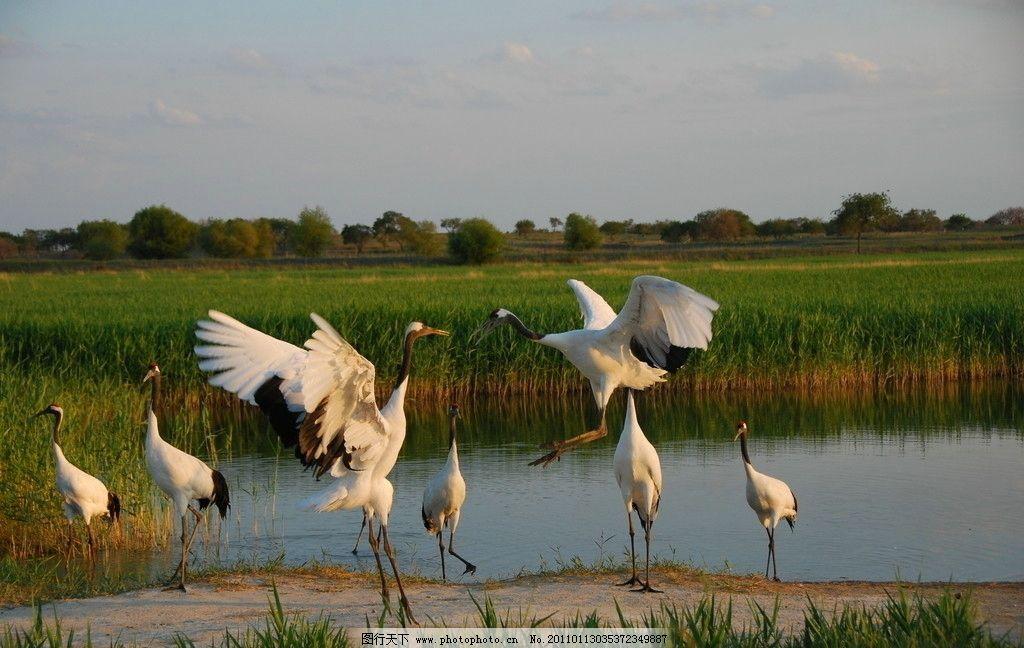 丹顶鹤 湿地 珍稀鸟类 动物世界 保护区 起舞 舞蹈 展翅 摄影