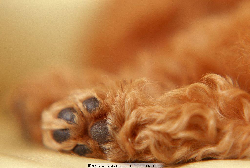 棕色爪子 狗爪子 名贵犬类 动物 狗 宠物狗 狗狗 犬 狗脚印 狗爪 家禽