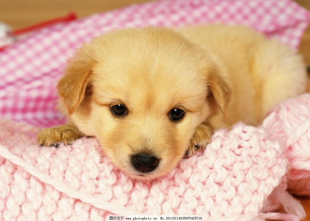 狗狗 狗 明星狗 可爱 动物 漂亮 搞笑 黄色 黄狗 毛发 生物世界 摄影