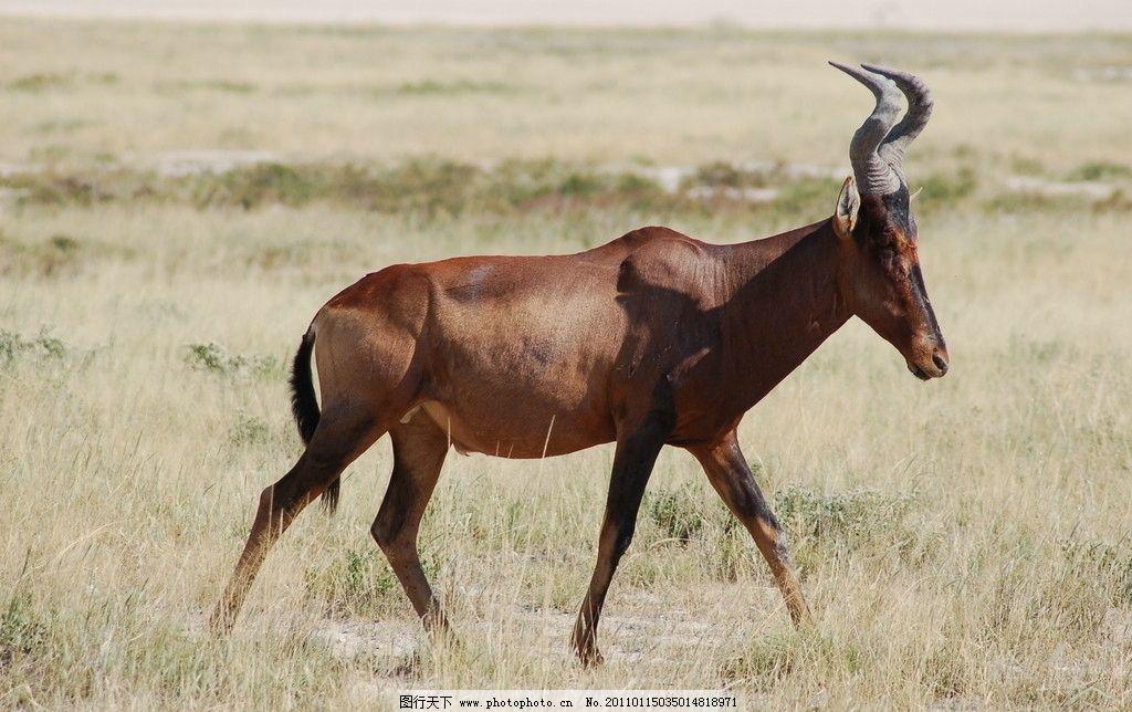 角马 非洲动物 脯乳动物 走动 全身 侧面 草地 野生动物 生物世界