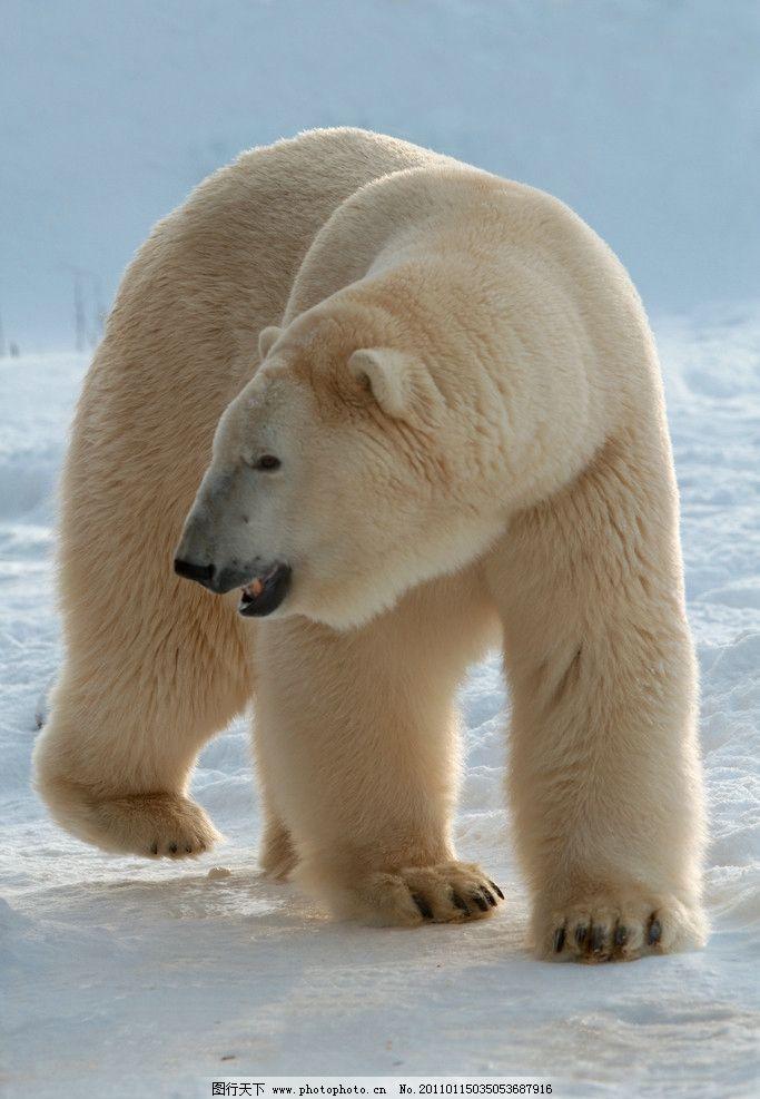北极熊 脯乳动物 保护动物 白熊 全身 雪地 野生动物 生物世界