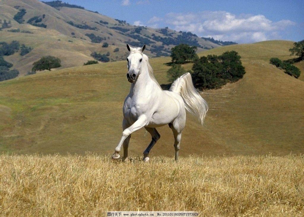 白马 草原 马儿 野生动物 生物世界 摄影 72dpi jpg