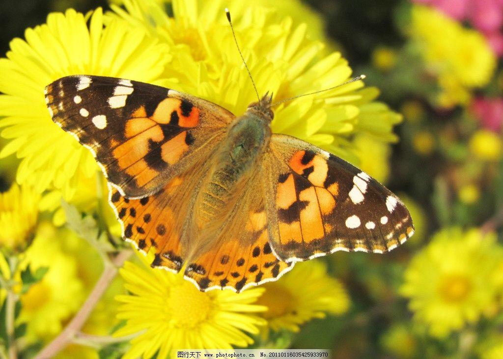 蝴蝶 蝴恋花 花蝴蝶 花朵 野花 飞舞 美丽 昆虫 生物世界 摄影 180dpi