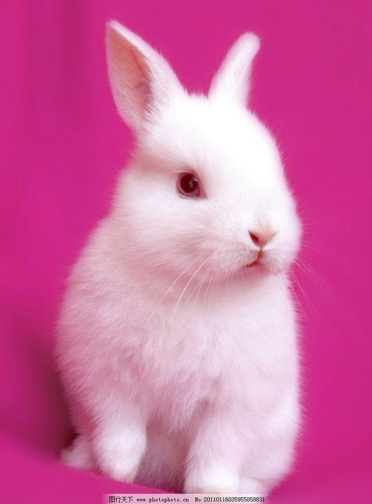 可爱小兔子 兔子 乖乖兔 小兔子 兔年素材 兔兔 可爱的兔子 白色兔子 漂亮的兔子 可爱 宠物 红眼静 兔年生肖素材 家禽家畜 动物 兔子图片 生物 生物世界 野生动物 动物摄影 摄影 180DPI JPG