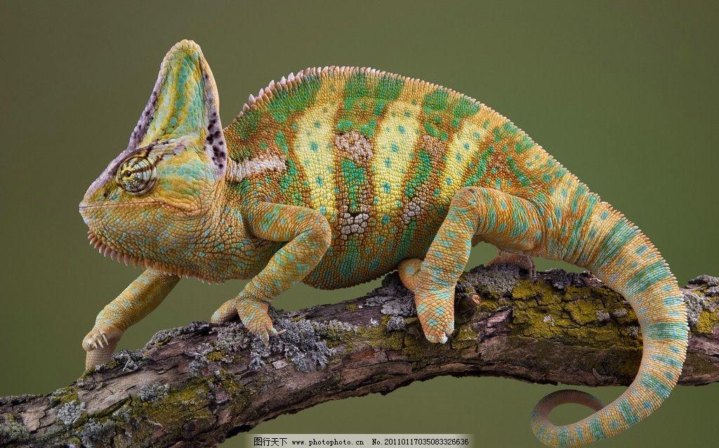 变色龙 花斑 生物 动物 眼睛 条纹 高清素材 图片素材 色彩 宠物 野生