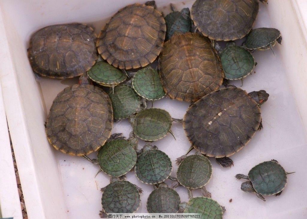 小乌龟 爬行动物 乌龟