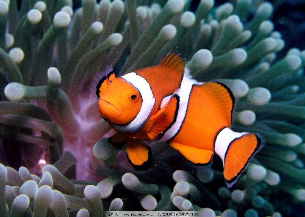 小丑鱼和珊瑚图片_海洋生物_生物世界_图行天下图库