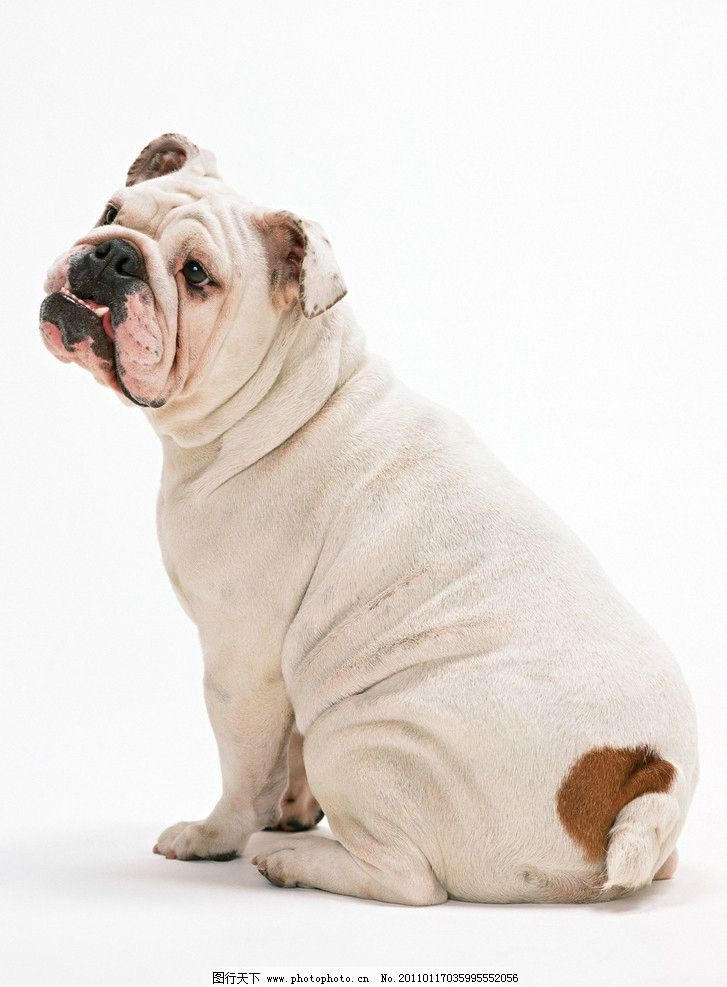 斗牛犬 小狗 狗狗 犬 宠物 宠物狗 肥肥的 侧面 家禽家畜 生物世界