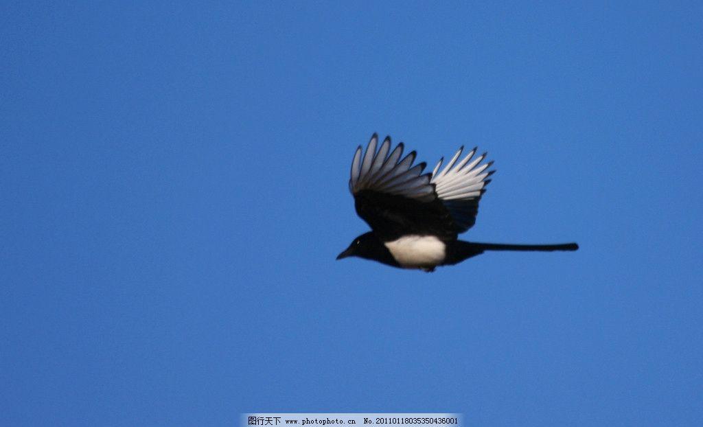 报喜鸟 喜鹊 空中 飞翔 蓝天 鸟类 生物世界 摄影 72dpi jpg