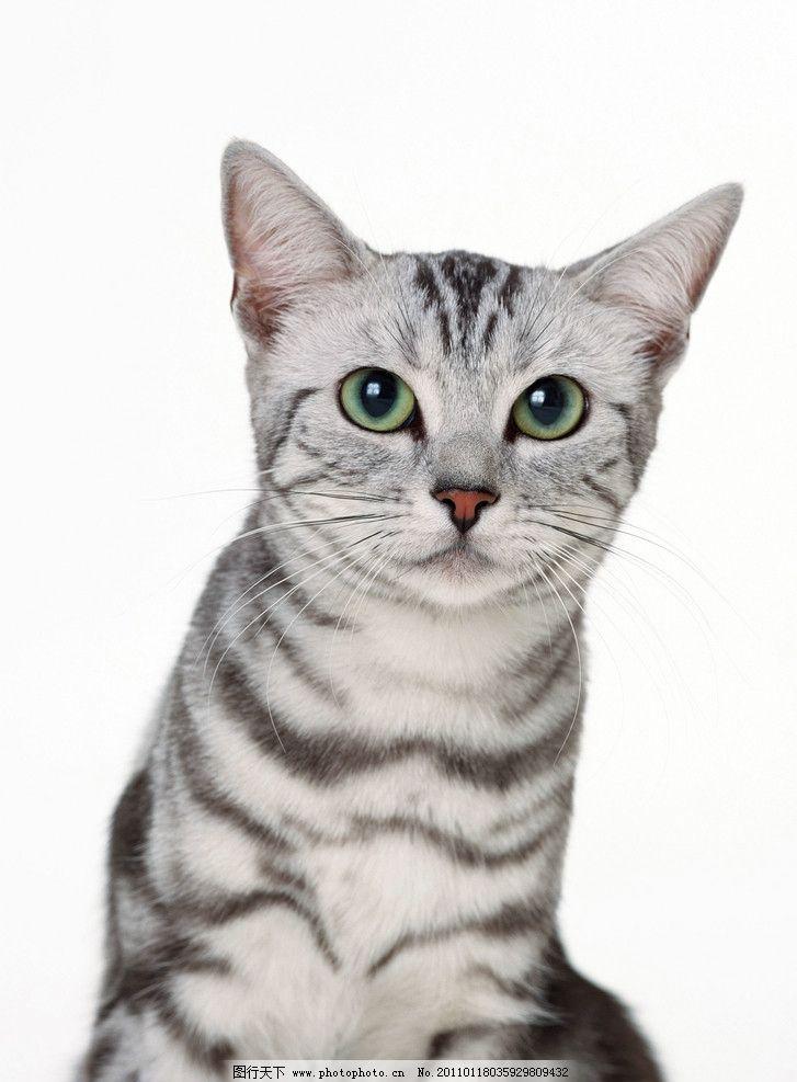 异国短毛猫 可爱小猫 小猫咪 宠物 正面 摄影
