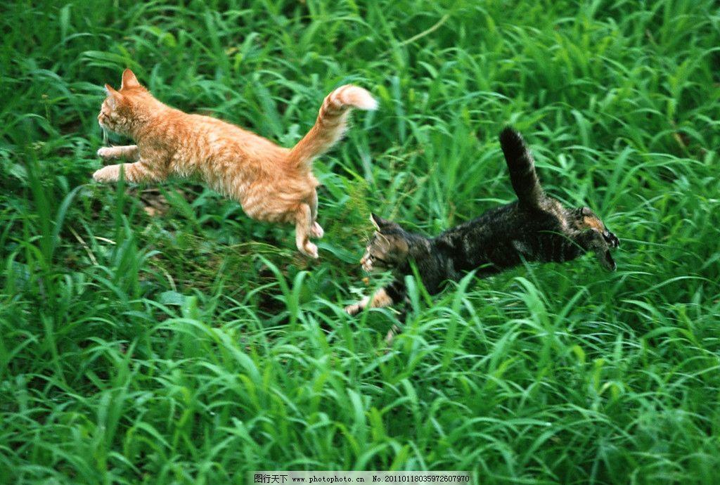 两只小猫玩耍追逐 可爱小猫 小猫 小猫咪 猫咪 猫 宠物 草地 玩耍