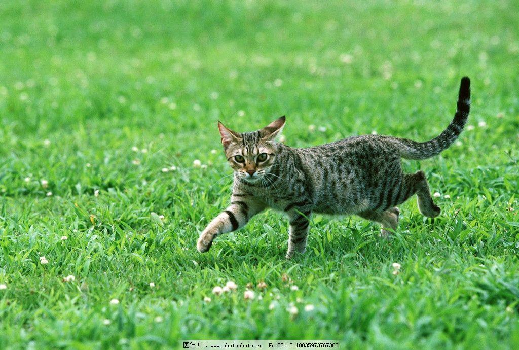 豹猫 可爱小猫 小猫咪 宠物 草地 玩耍 走路 摄影