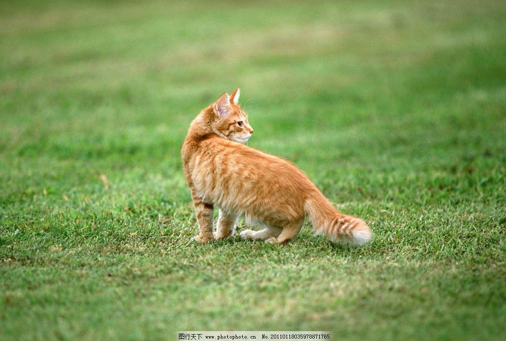美国硬毛猫 可爱小猫 小猫 小猫咪 猫咪 猫 宠物 草地 玩耍 回头 家