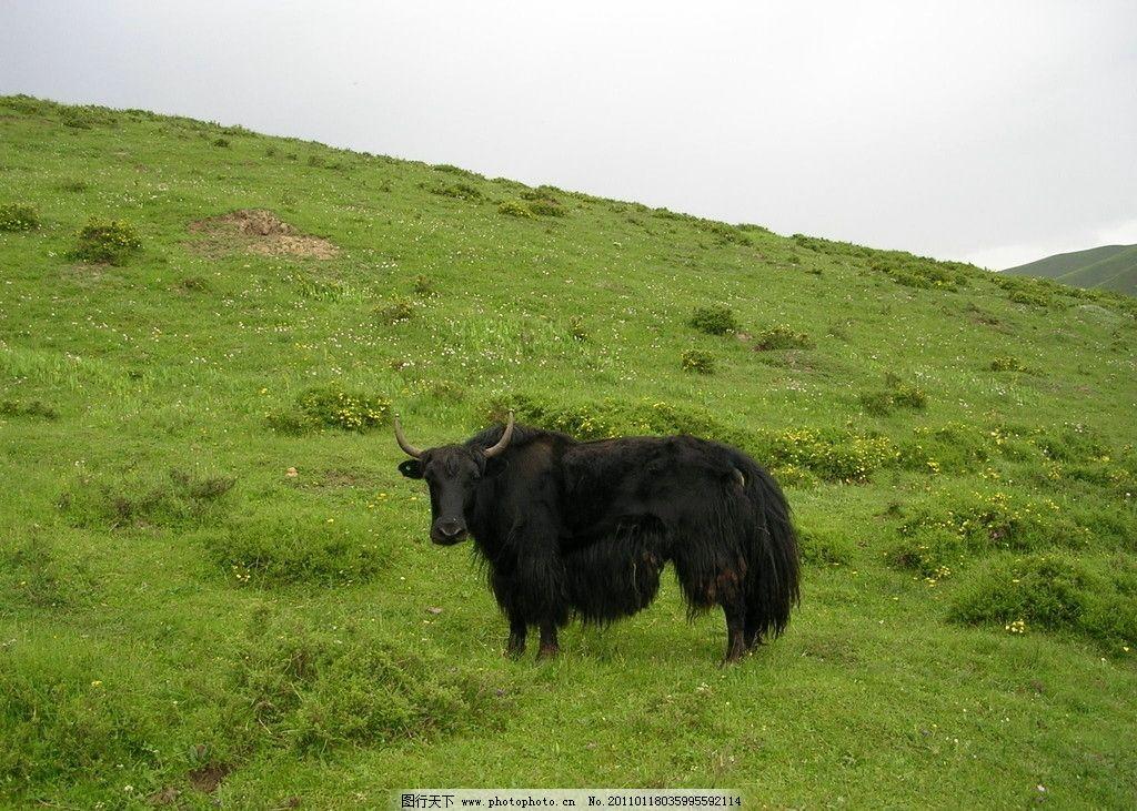 高原牦牛 牦牛 高原动物 家禽家畜 生物世界 摄影 300dpi jpg