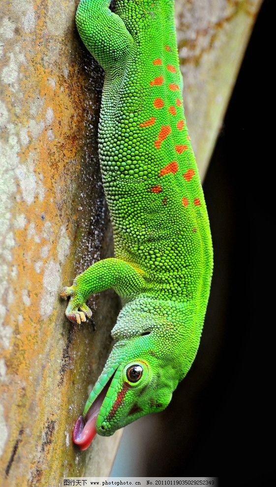 变色龙 绿色 爬行动物 壁虎 野生动物 生物世界 摄影