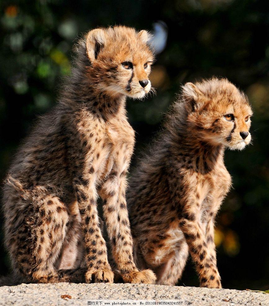 花豹 猎豹 豹子 蹲着 脯乳动物 小豹 两只 野生动物 生物世界 摄影