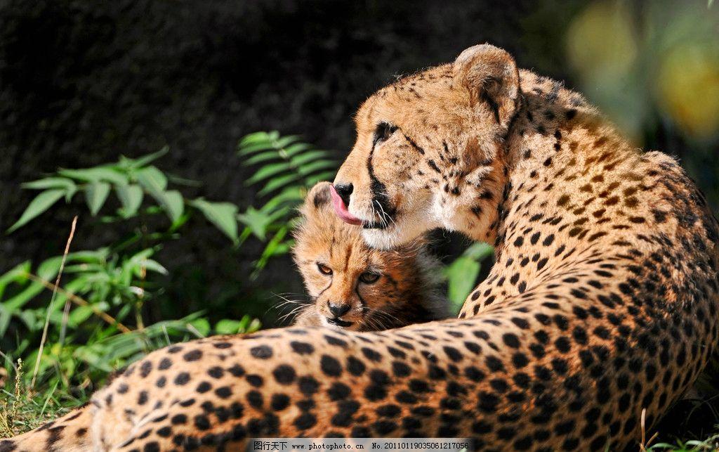 花豹 猎豹 母子 豹子 母豹 趴着 野生动物 生物世界 摄影 300dpi jpg