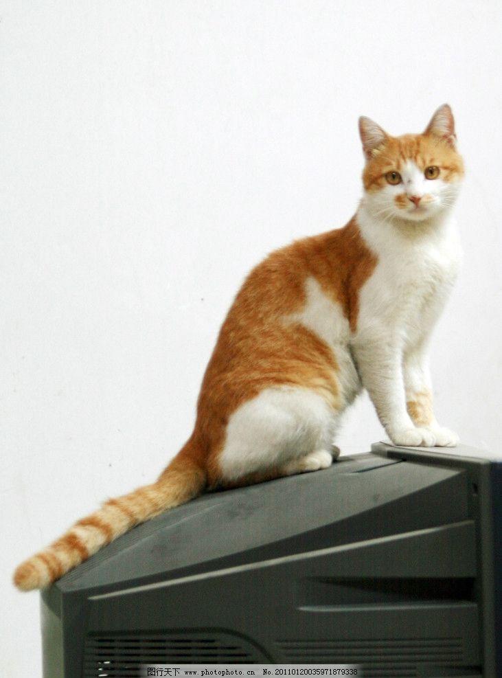 小花猫 电视 墙壁 花猫