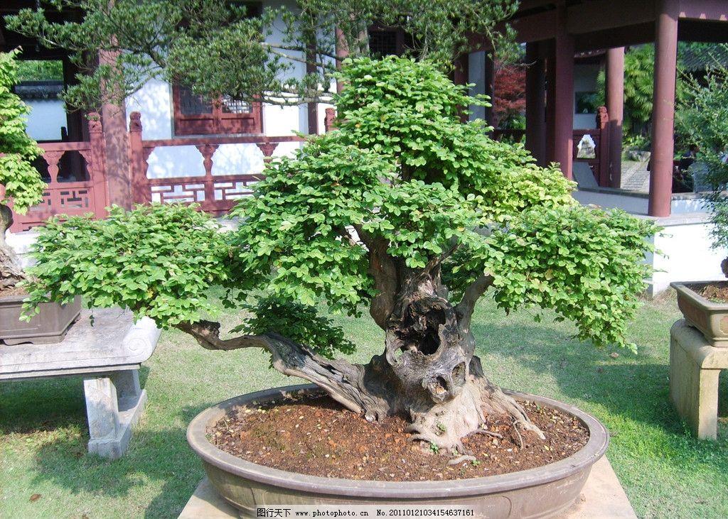 盆栽风景树图片大全