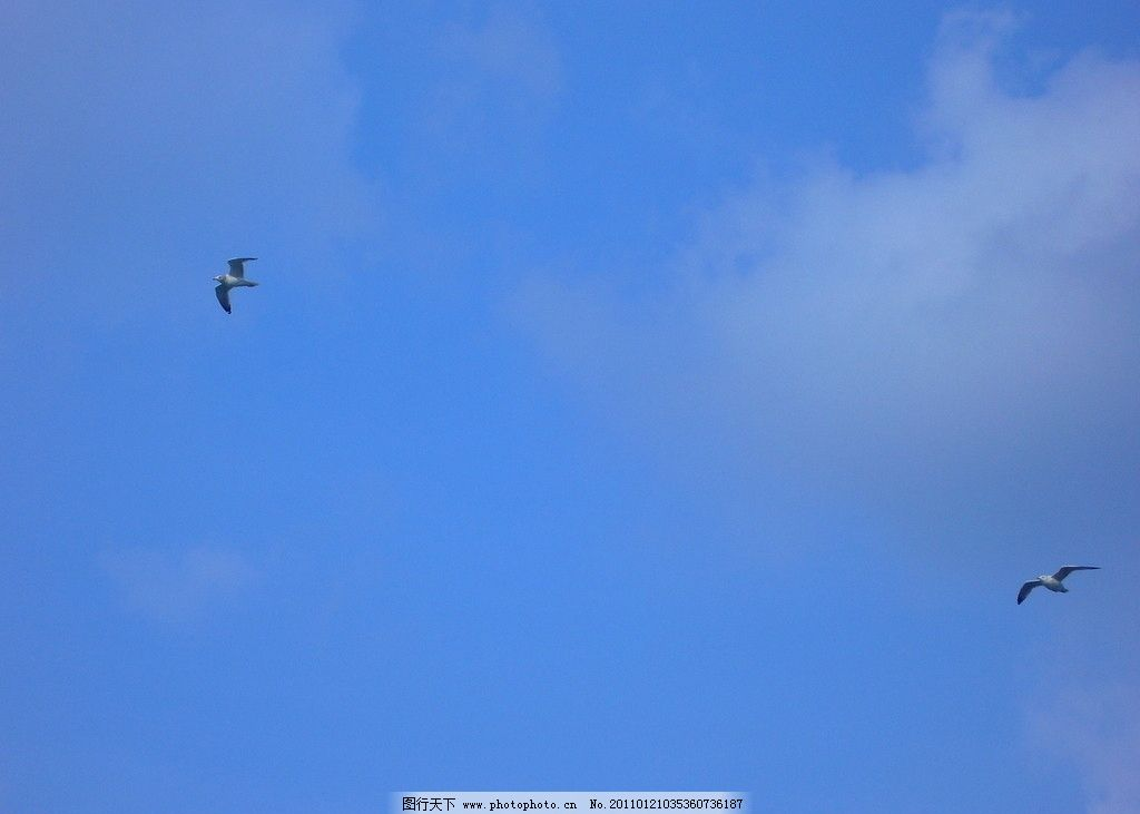 海鸥 飞鸟 比冀 云翥 蓝天 白云 鸟类 生物世界 摄影 72dpi jpg