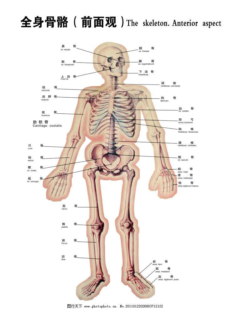 全身骨骼图图片