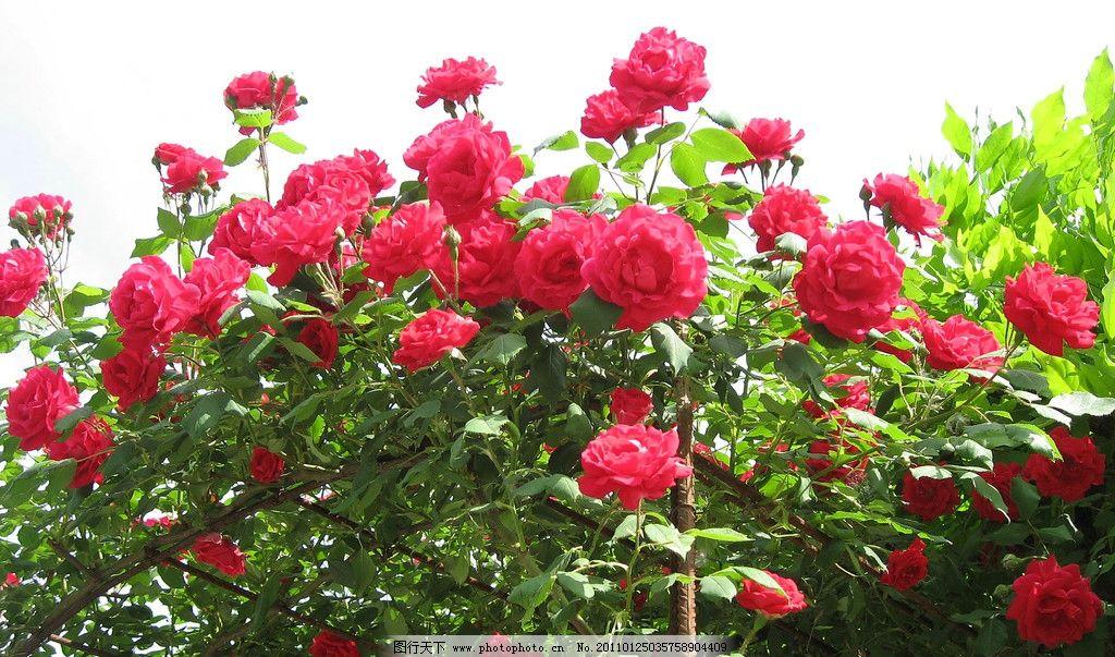 玫瑰花 花 红色花 红花绿叶 鲜花 背景 自然风景 花草 生物世界 摄影-红图片